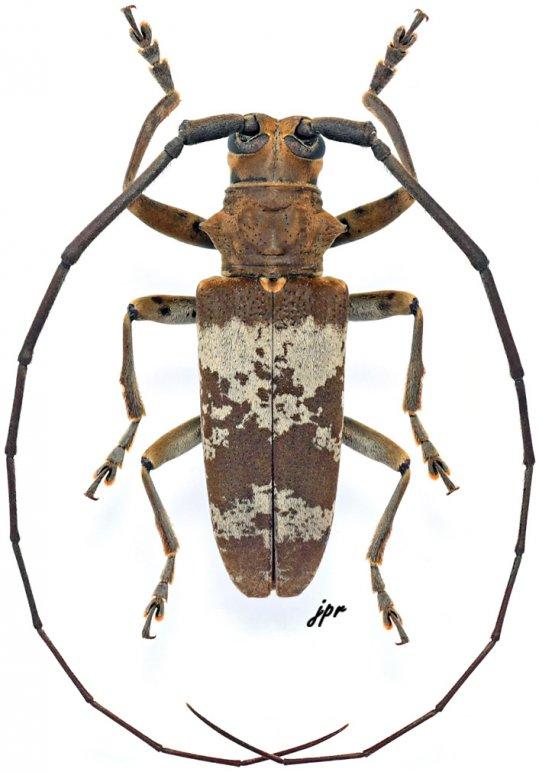 Monochamus griseoplagiatus griseoplagiatus