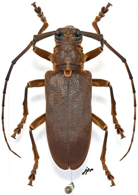 Monochamus homoeus