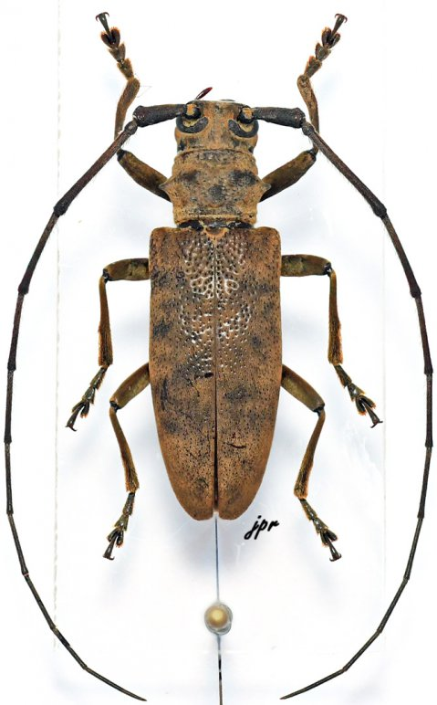 Monochamus congoanus