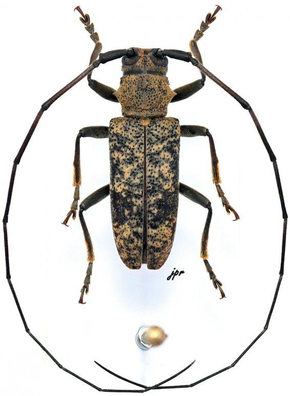 Monochamus flavomarmoratus