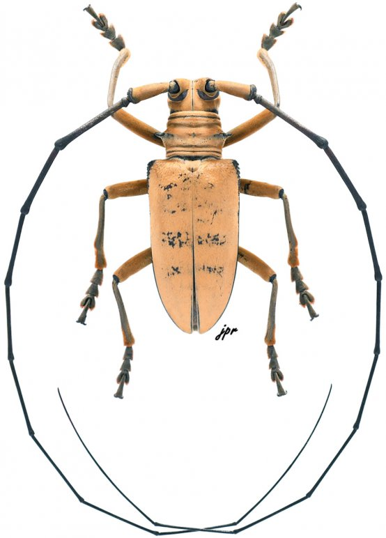 Nemophas tomentosus