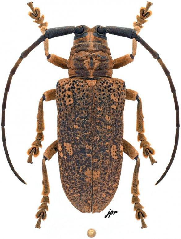 Paranamera malaccensis