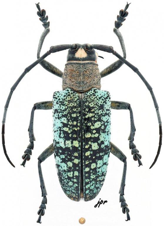 Pericycos teragramus