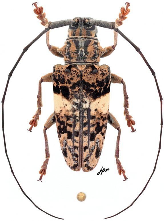 Pharsalia pulchra pulchra