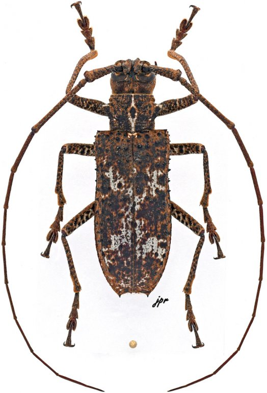 Potemnemus sepicanus