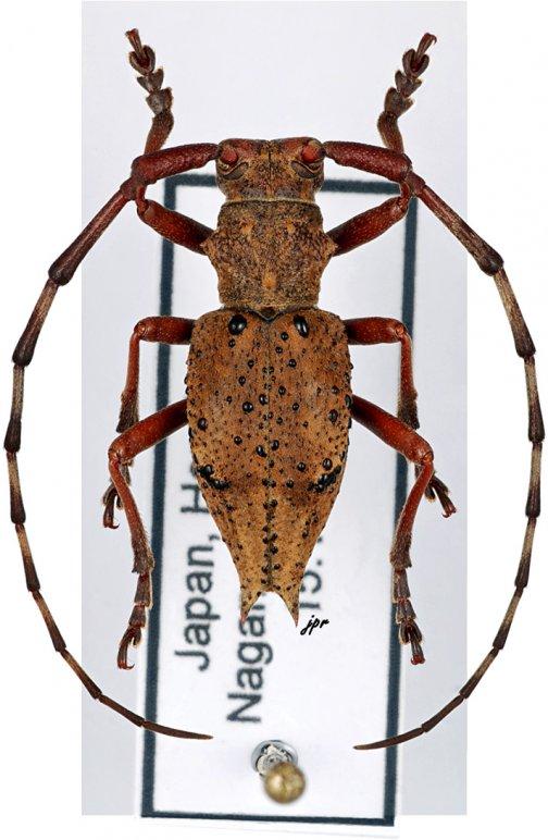 Mesechthistatus furcifer meridionalis