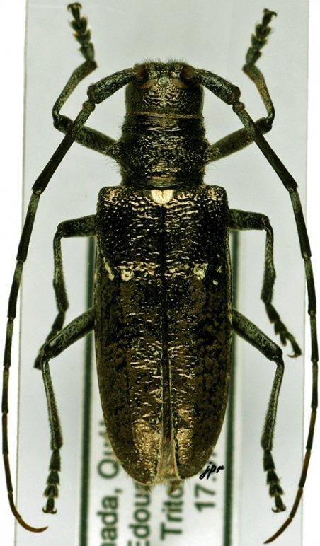 Monochamus scutellatus scutellatus