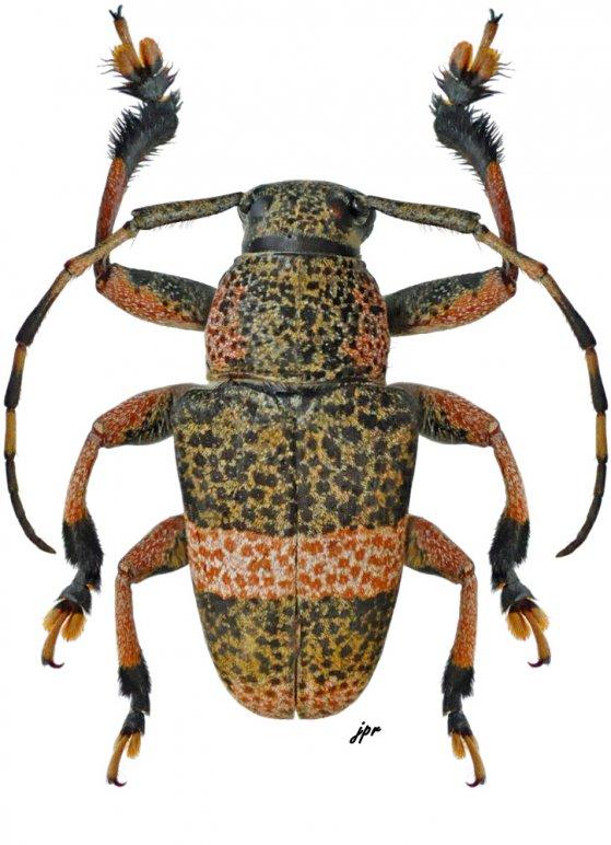 Choeromorpha callizona