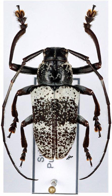 Choeromorpha sulphurea