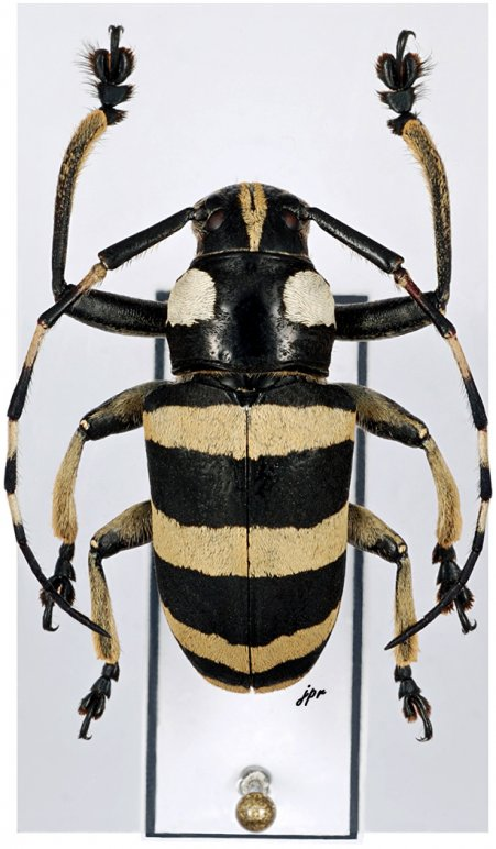 Choeromorpha trifasciata