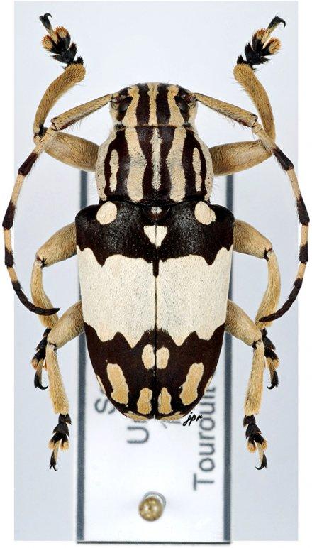 Choeromorpha wallacei