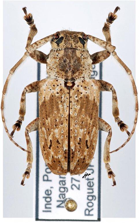 Coptops similis