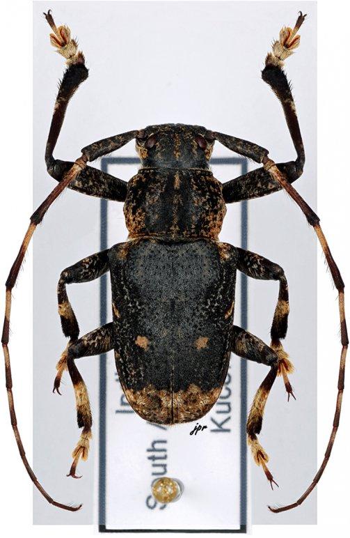Pseudochoeromorpha siamensis