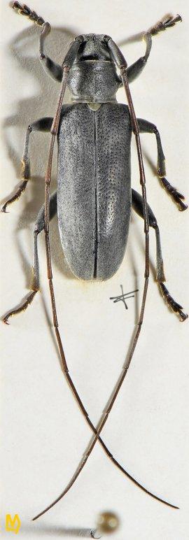Acalolepta griseipennis