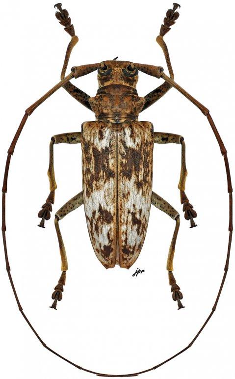 Acalolepta griseofasciata griseofasciata