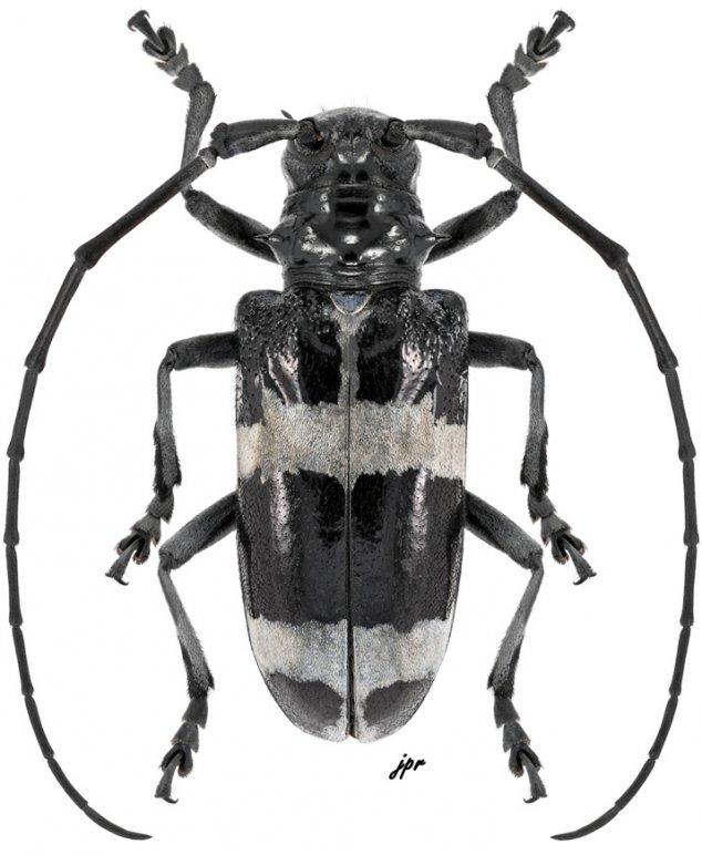 Anoplophora cheni