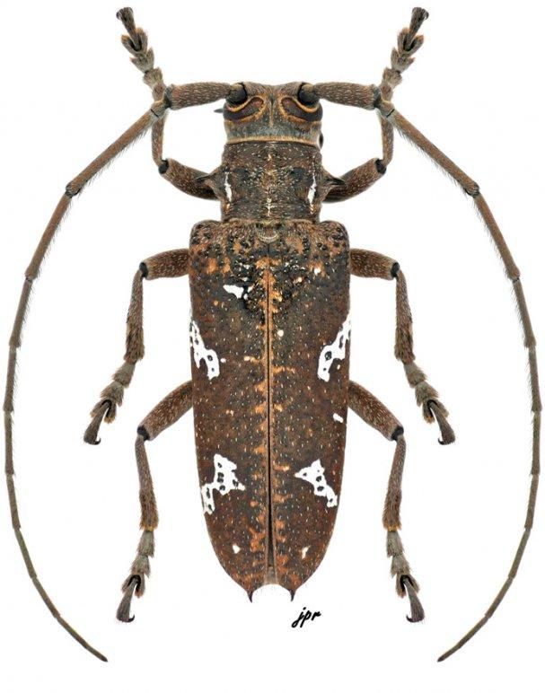 Hammatoderus thoracicus