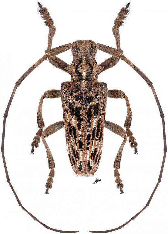 Haplothrix pulchra