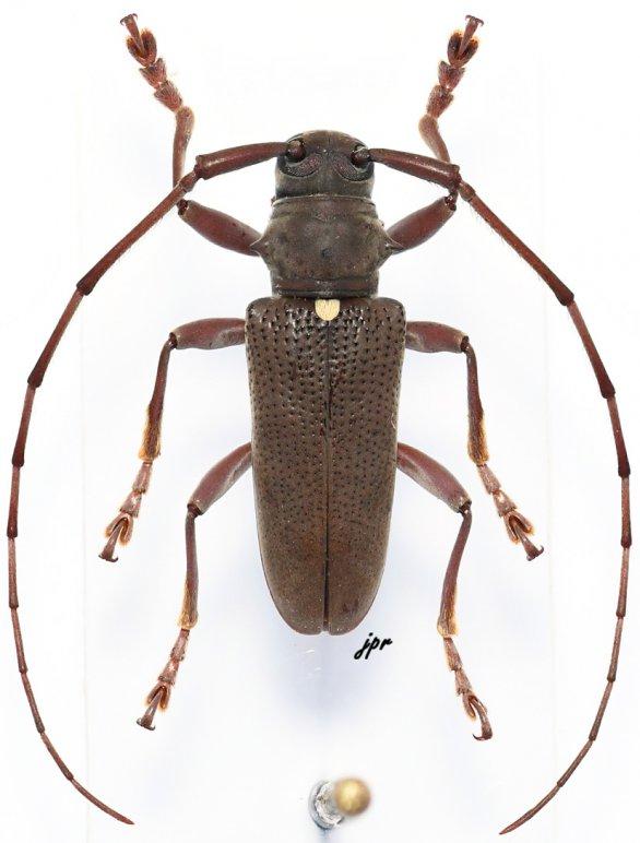 Monochamus olivaceus