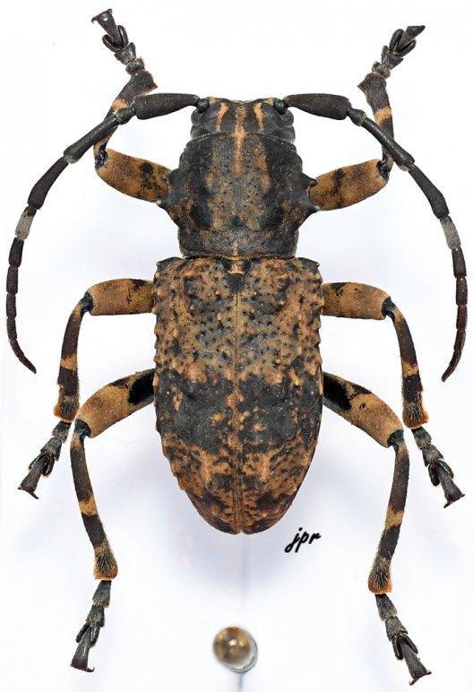 Monoxenus bispinosus