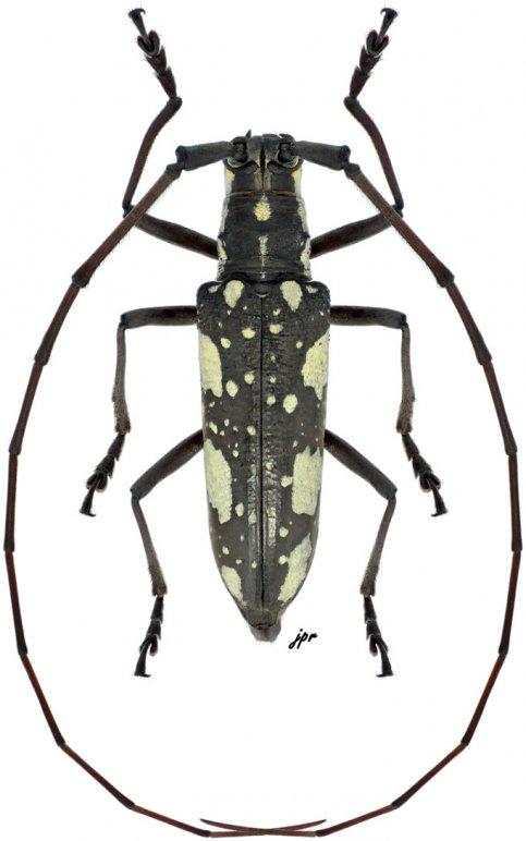 Neoptychodes cretatus