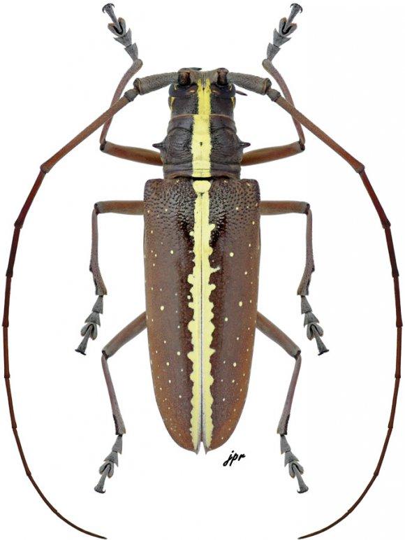 Taeniotes scalatus from Nicaragua