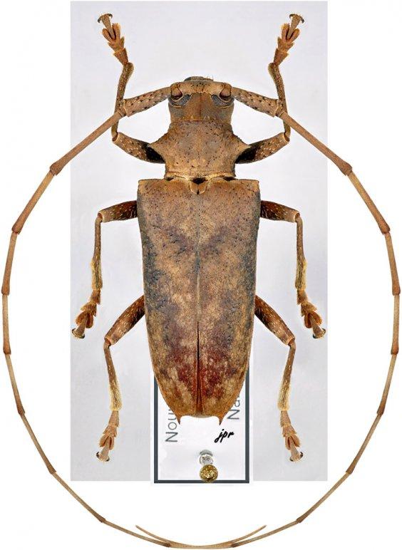 Acalolepta artensis
