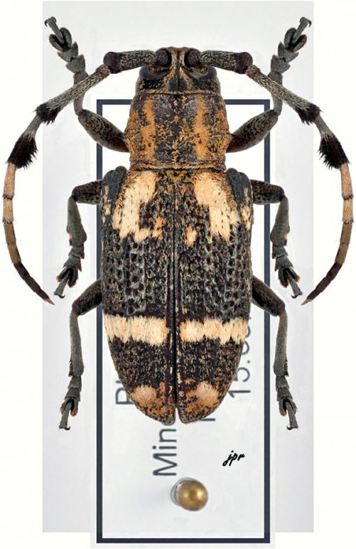 Achthophora annulicornis