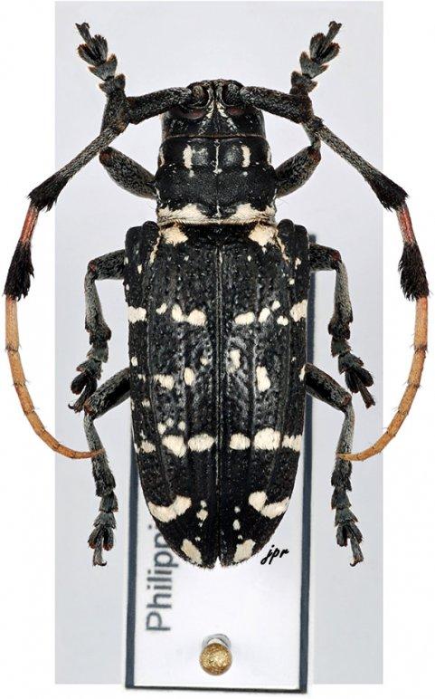 Achthophora costulata