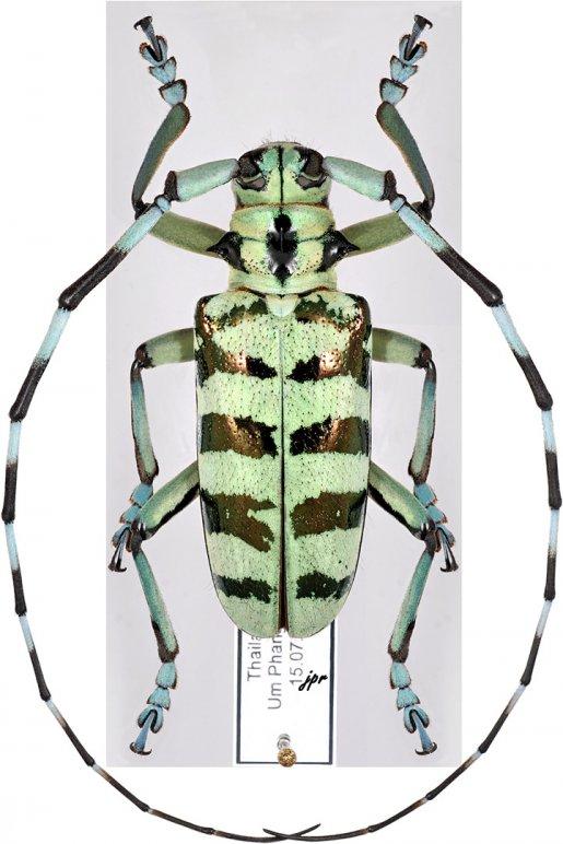 Anoplophora longehirsuta