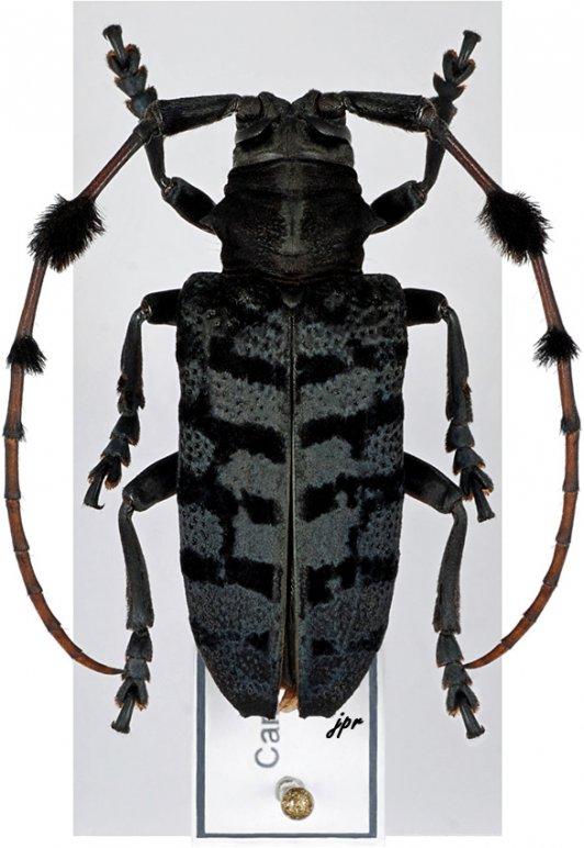 Aristobia quadrifasciata malasiaca