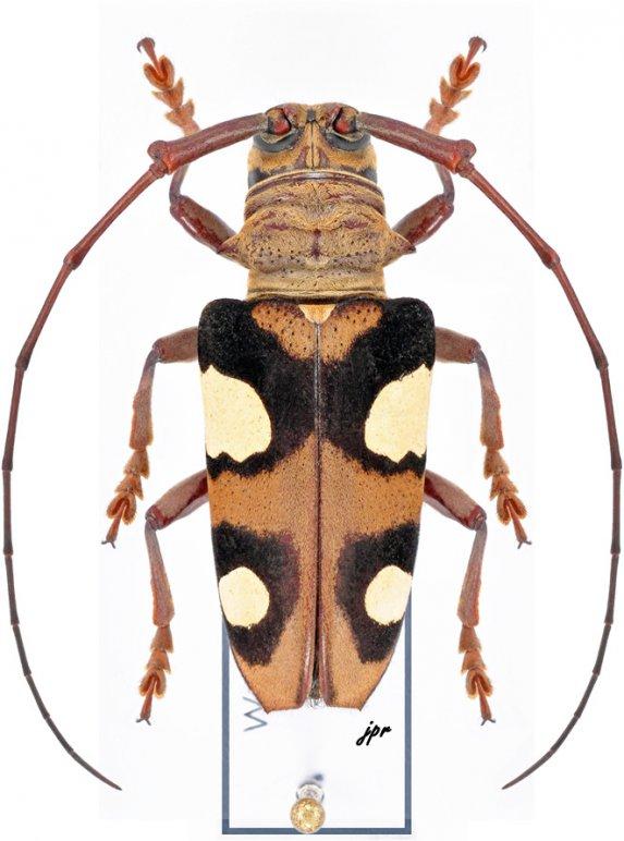 Cereopsius helena