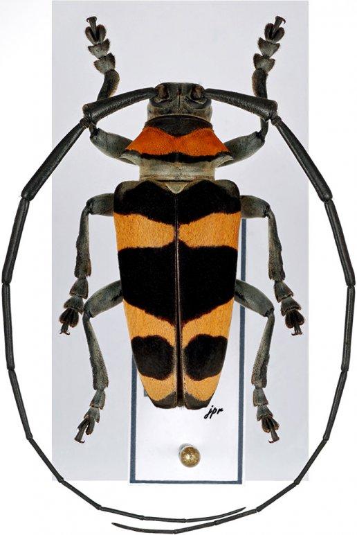 Cereopsius quaestor