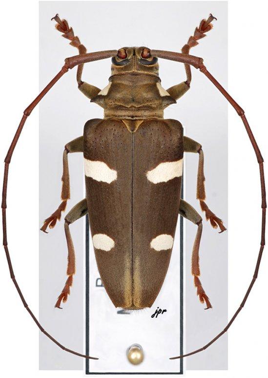 Cereopsius sexmaculatus