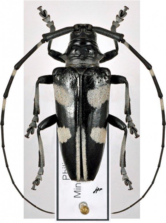 Cereopsius arbiter