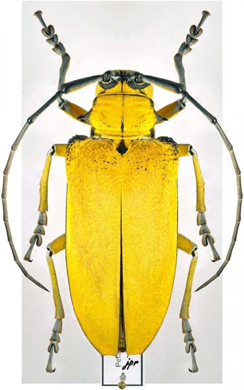 Cerosterna pollinosa