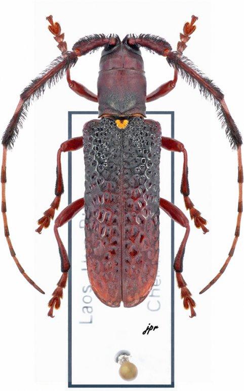 Cribragapanthia scutellata