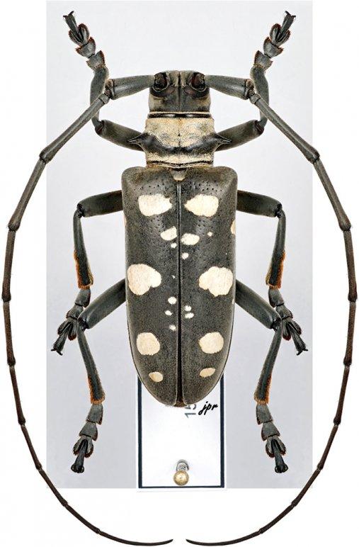 Dolichoprosopus lethalis canescens