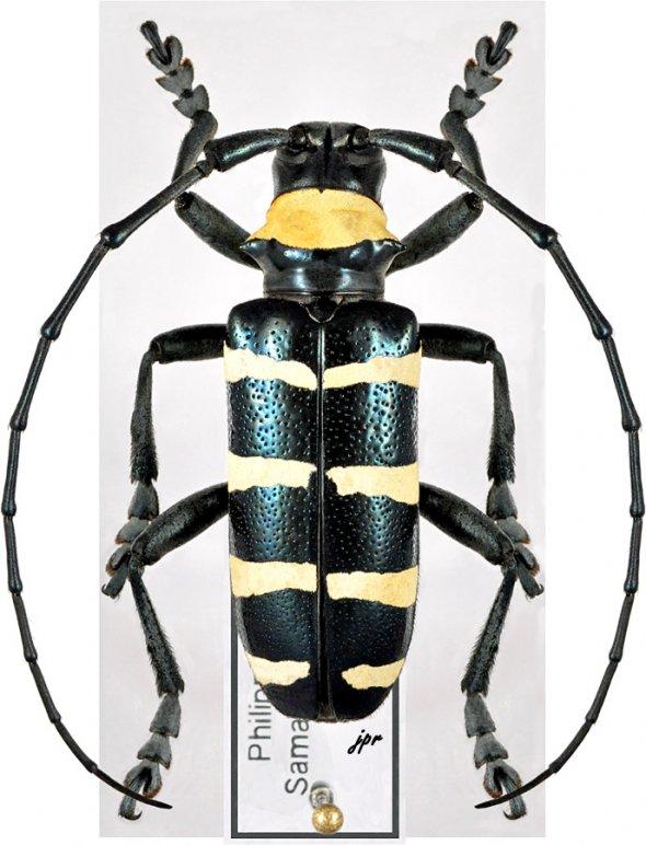 Nemoplophora subcylindricus