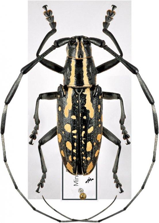 Hotarionomus ilocanus
