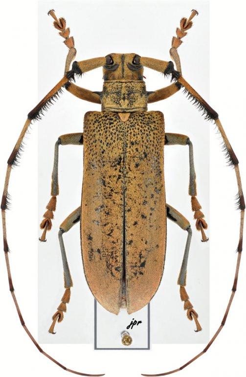 Mimothestus annulicornis