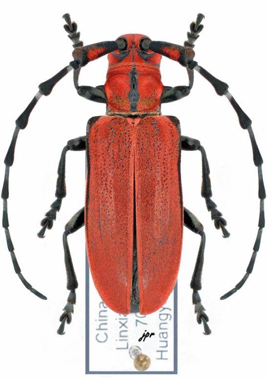 Mimocratotragus superbus
