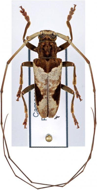 Monochamus camerunensis camerunensis