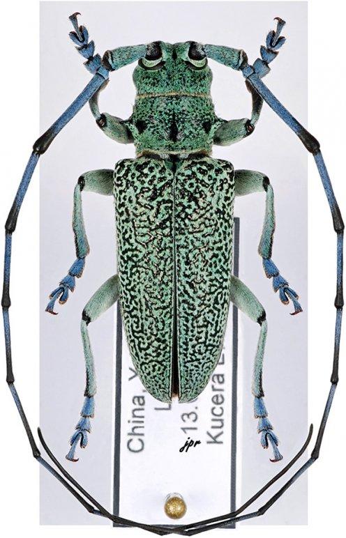 Monochamus guerryi