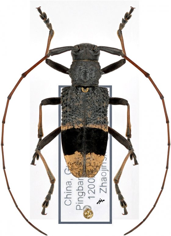 Monochamus latefasciatus