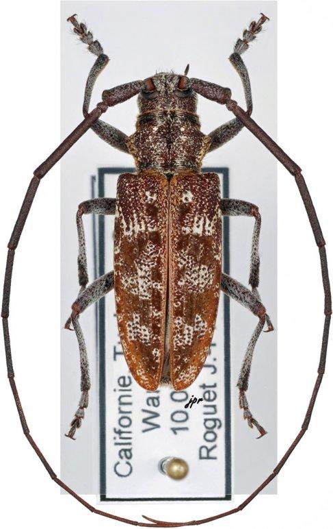 Monochamus obtusus obtusus