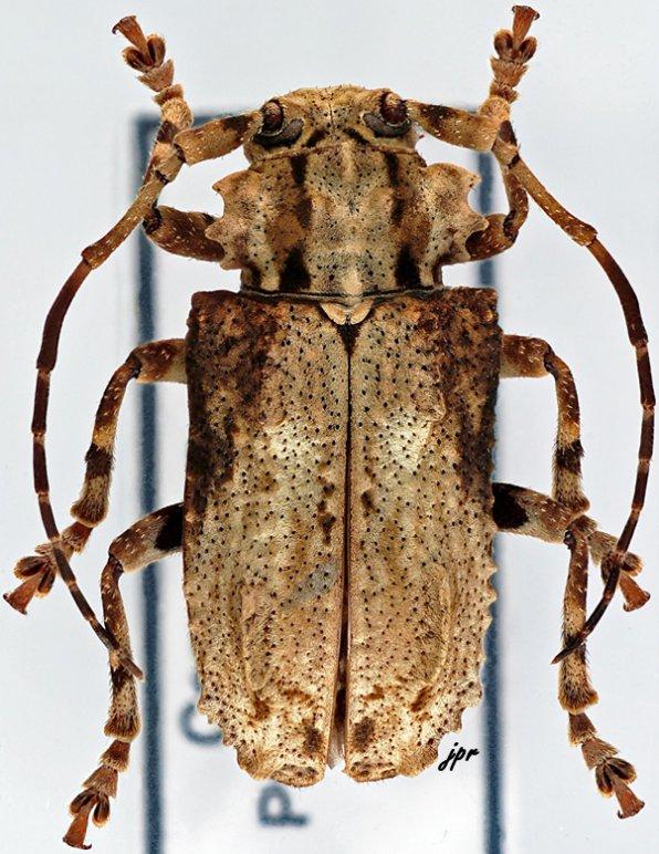 Monoxenus tridentatus