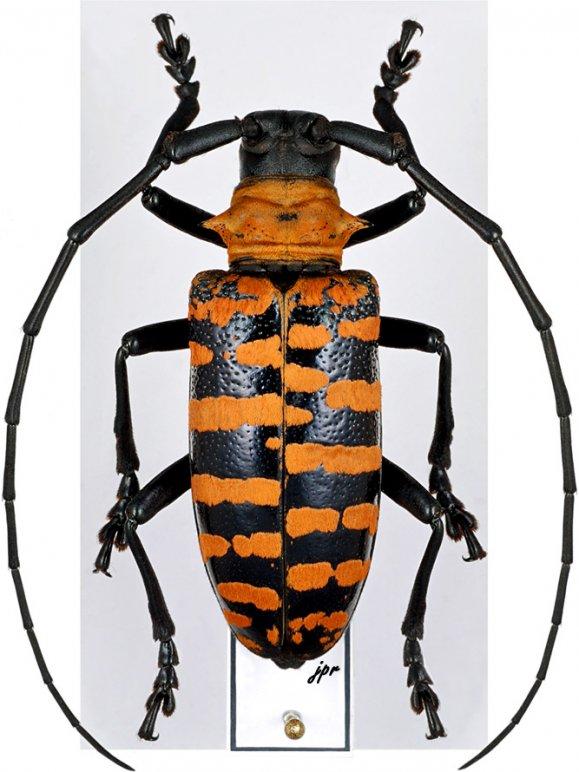 Nemophas forbesi