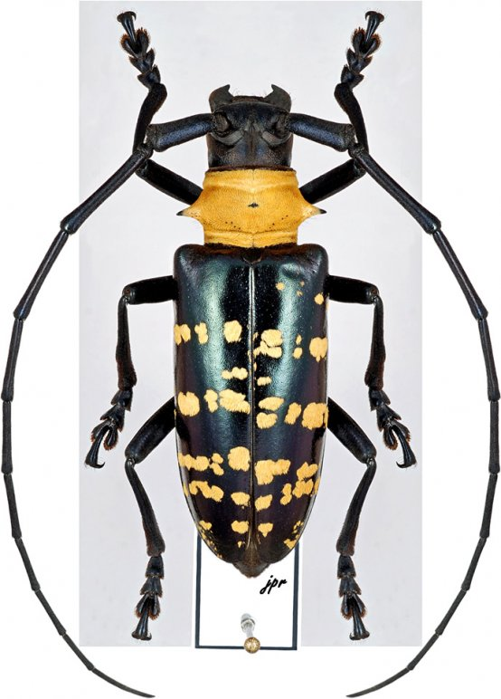 Nemophas helleri