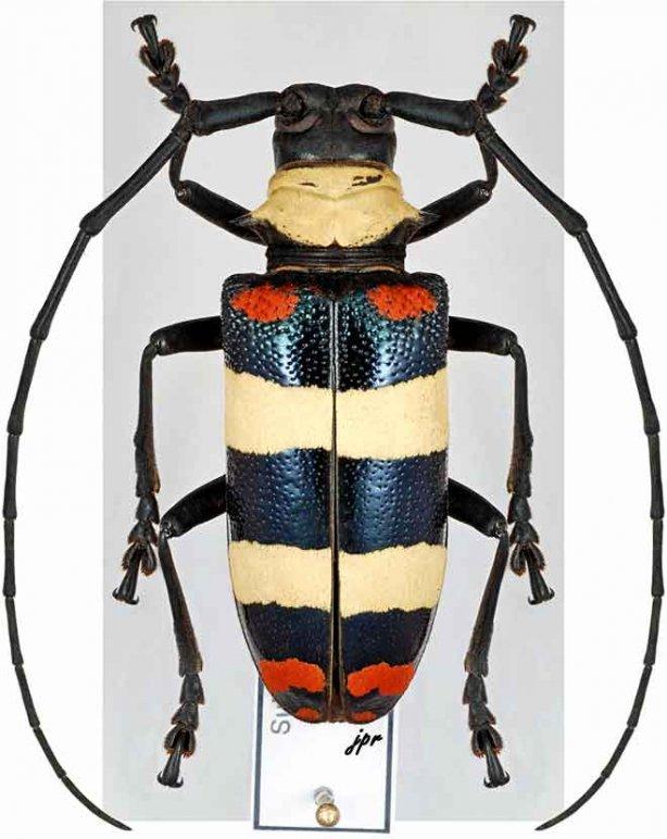 Nemophas tricolor